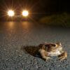 Der Schnee ist weg, die Kröten kommen! Amphibienwanderung im Saarland startet